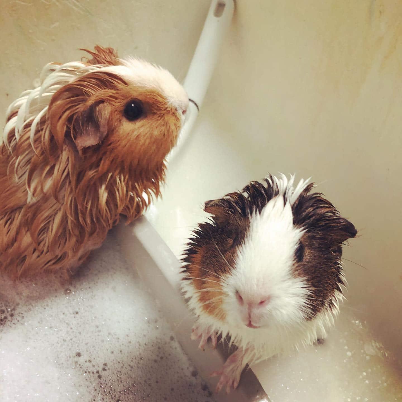 Guinnea Pig Bath